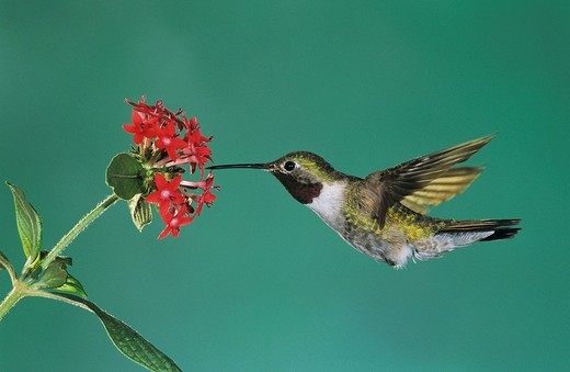 Stock Photo: 1848R-352015 Broad_tailed Hummingbird Selasphorus platycercus, male feeding on Penta, Miller Canyon, Arizona, USA