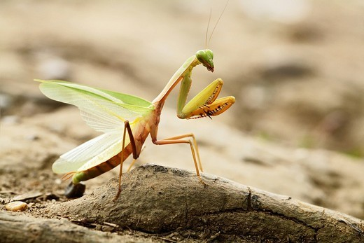 Stock Photo: 1848R-352195 Praying mantis Mantodea, Long Bagun, East-Kalimantan, Borneo, Indonesia