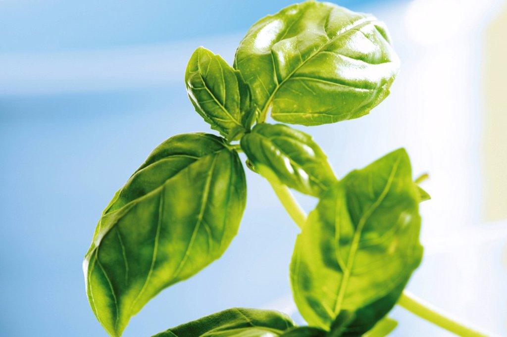 Stock Photo: 1848R-352563 Basil Ocimum basilicum