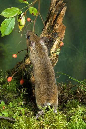 Stock Photo: 1848R-352684 Yellow-necked Mouse Apodemus flavicollis, Schwaz, Tyrol, Austria, Europe