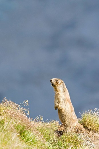 Alpine marmot Marmota marmota, Franz Josefs Hoehe, Hohe Tauern National Park, Austria, Europe : Stock Photo