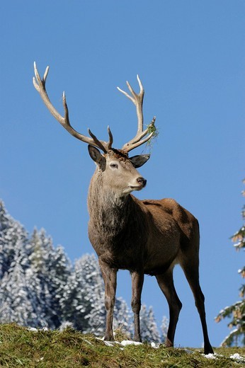 Stock Photo: 1848R-353799 Red Deer Cervus elaphus, Austria, Europe