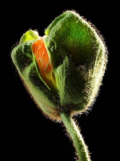 Stock Photo: 1848R-353983 Iceland Poppy Papaver nudicaule, bud