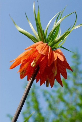 Stock Photo: 1848R-354028 Flower of a Crown Imperial or Kaiser´s Crown Fritillaria imperialis against a blue sky