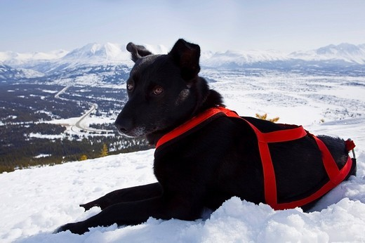 Resting sled dog, Alaskan Husky with harness, Log Cabin, White Pass, Chilkoot Pass, Chilkoot Trail, British Columbia, B.C., Yukon Territory, Canada, North America : Stock Photo