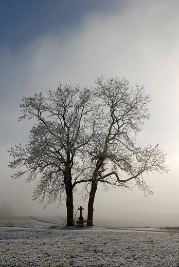 Two trees in backlight with hoar frost : Stock Photo