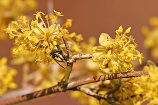 Cornelian cherry Cornus mas blooming : Stock Photo