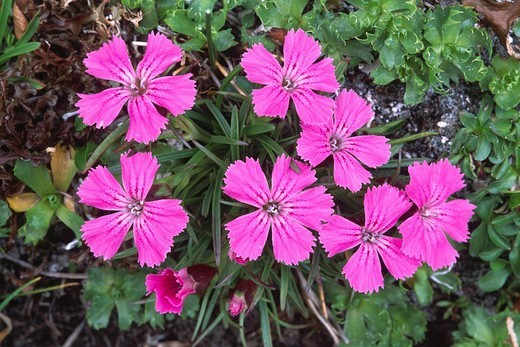 Alpine pinks Dianthus alpinus, North Tirol, Austria, Europe : Stock Photo