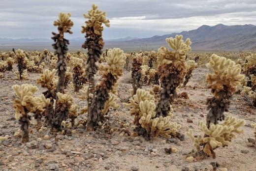 Teddybear Cholla Cylindropuntia bigelovii, Joshua Tree National Park, Palm Desert, California, USA : Stock Photo