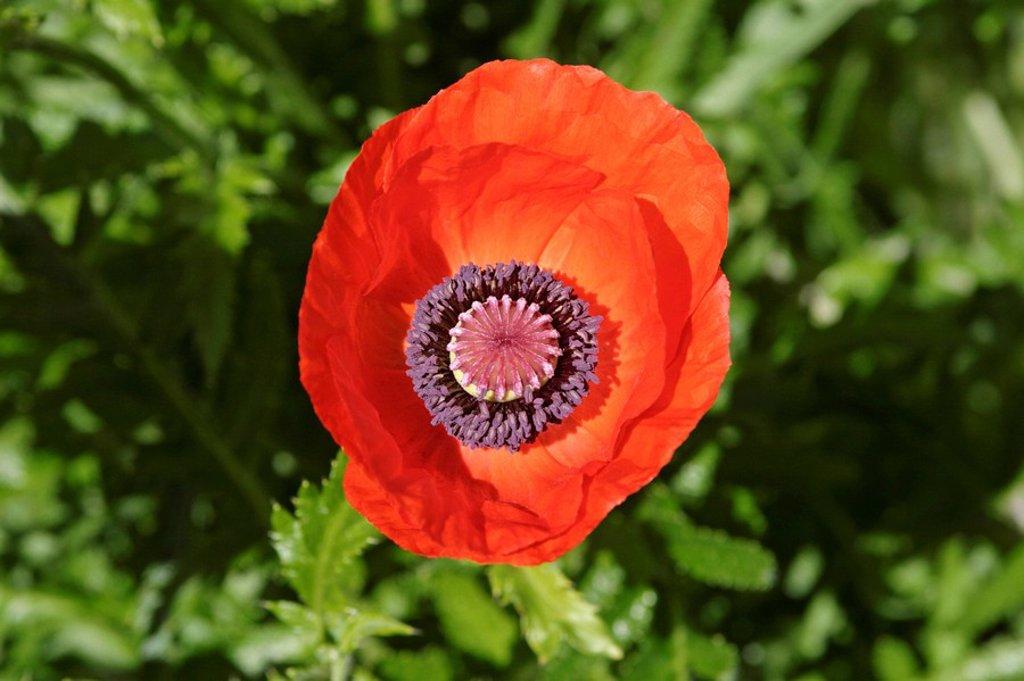 Stock Photo: 1848R-355188 Poppy flower papaver