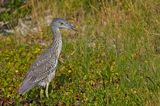 Yellow-crowned Night Heron Nycticorax violaceus, young animal, Florida : Stock Photo