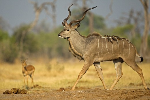 Stock Photo: 1848R-356148 Greater Kudu Tragelaphus strepsiceros, Savuti, Chobe National Park, Botswana, Africa