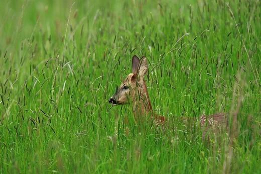 Stock Photo: 1848R-356365 Deer Capreolus capreolus