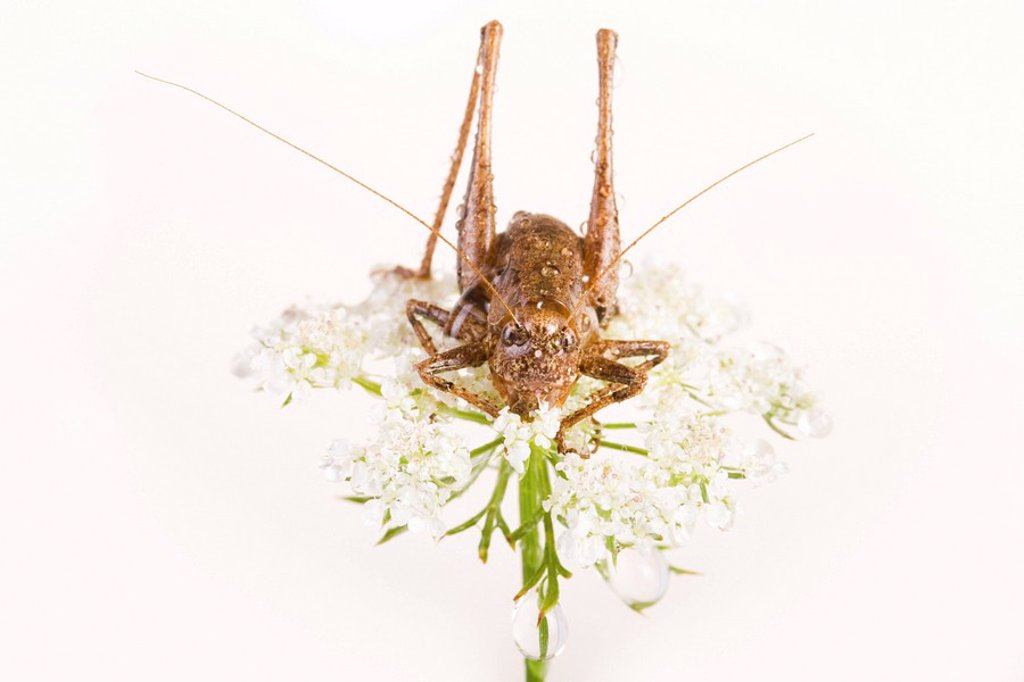 Dark Bush Cricket Pholidoptera griseoaptera : Stock Photo