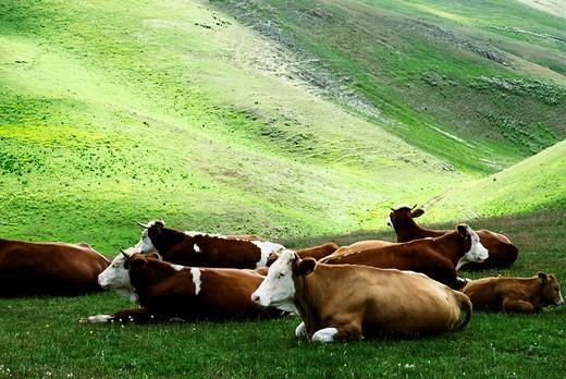 Cattle in the wild, Gran Sasso, Abruzzi, Italy, Europe : Stock Photo