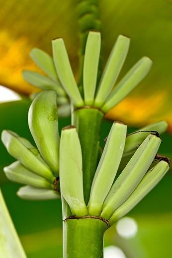 Bunch of bananas Musa : Stock Photo
