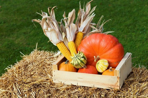 Stock Photo: 1848R-357964 Pumpkins and corn on the cobs in a wooden box on straw