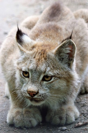 Stock Photo: 1848R-358016 Canada Lynx, Canadian Lynx Lynx canadensis