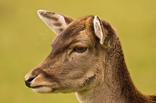 Fallow Deer Dama dama, portrait : Stock Photo