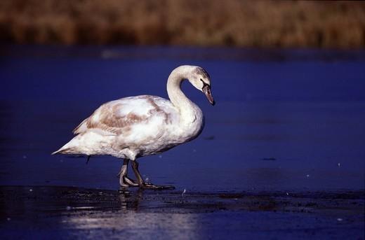 Mute swan : Stock Photo