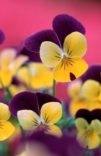 Stock Photo: 1848R-359131 Pansies Viola hybrida