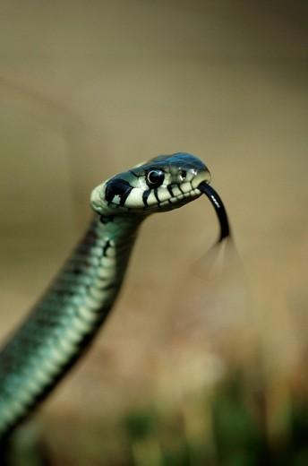 Grass Snake, Germany Natrix natrix : Stock Photo