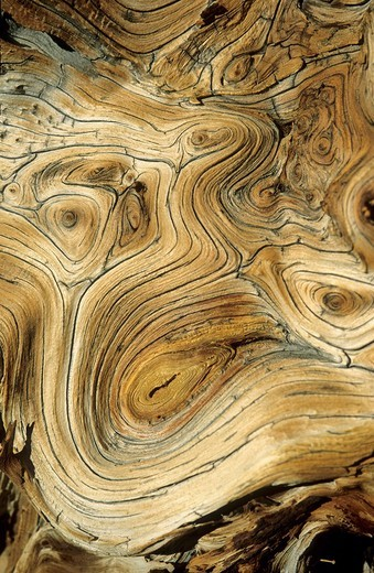 Wood of a very old bristlecone pine, Great Basin National Park, Nevada, USA : Stock Photo