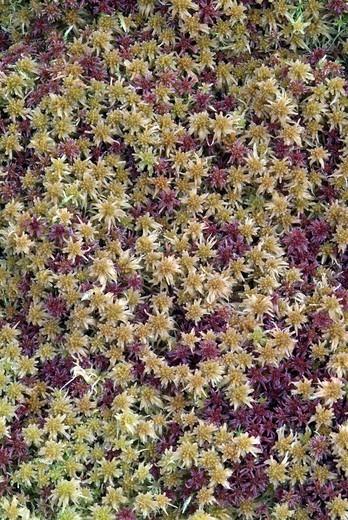 Stock Photo: 1848R-359899 Magellan´s Peatmoss or Midway Peat Moss, Sphagnum magellanicum, Kleiner Gamsstein, Pillberg, Tirol, Austria