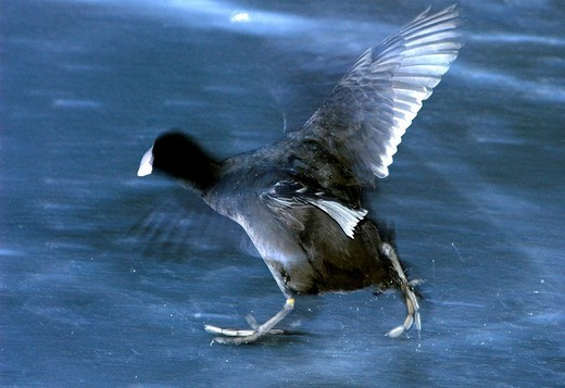 Stock Photo: 1848R-359960 Rails coot Fulica atra escapes on ice flapping its wings