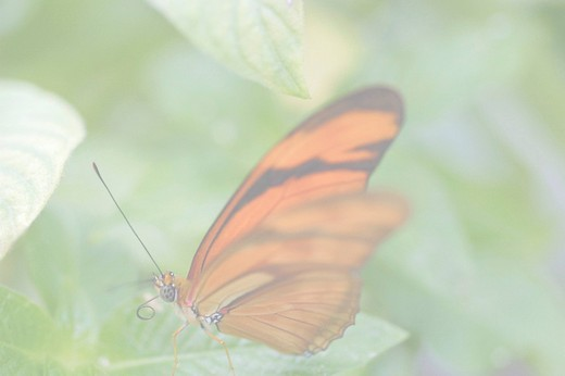 Orange butterfly is sitting on a leave, Dione Juno, , butterfly, Nymphalidae, : Stock Photo