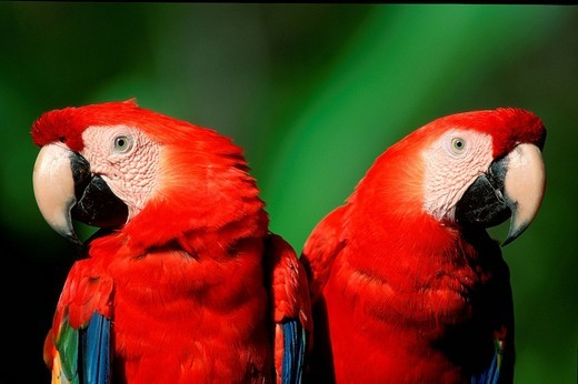 Stock Photo: 1848R-360237 Scarlet Macaws / Ara macao