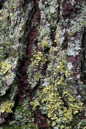 Norway Spruce tree bark Picea abies covered in moss and lichens, Grafenast, Pillberg, Tyrol, Austria, Europe : Stock Photo