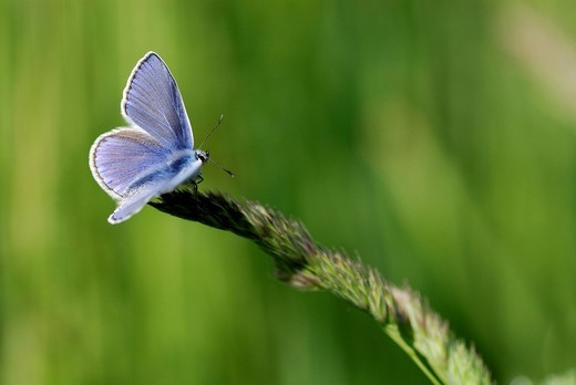 Gossamer-winged Butterfly Lycaenidae perched on a blade of grass, Mindelheim, Bavaria, Germany, Europe : Stock Photo