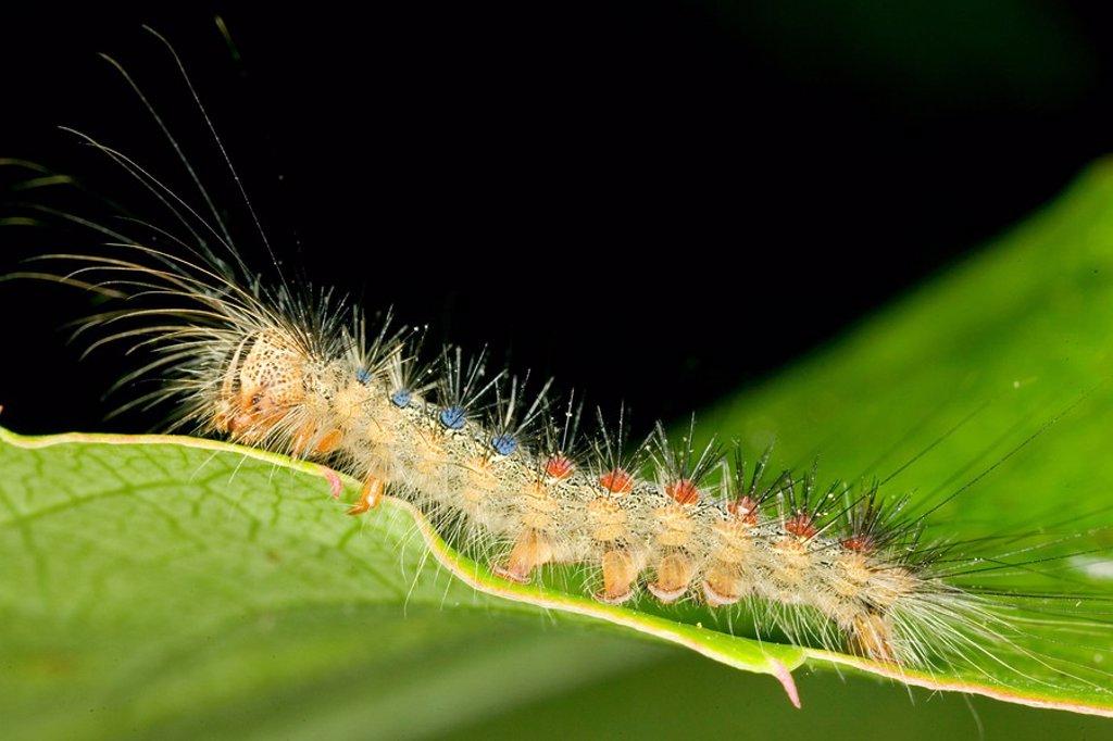 Stock Photo: 1848R-362254 Carterpillar from Lymatria dispar