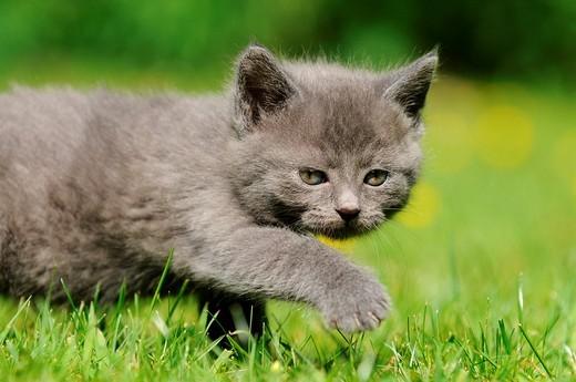 Cat Felis catus, kitten : Stock Photo
