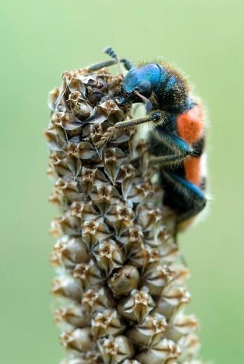 Checkered Bee Beetle Trichodes apiarius, Gertrude Messner´s herb garden, Brandenberg, Tyrol, Austria, Europe : Stock Photo