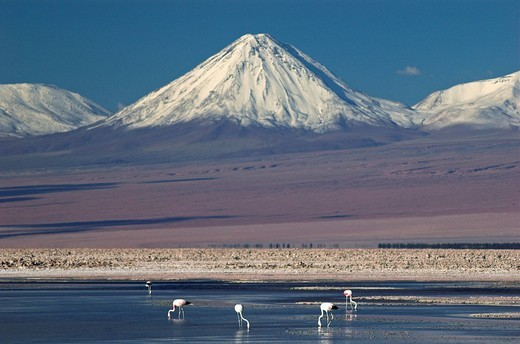 Flamingos at Salt lake Salar de Atacama, Atacama desert, northern Chile, South America : Stock Photo