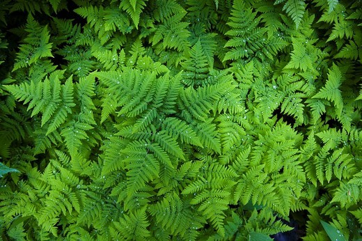 Stock Photo: 1848R-363498 Spiny Wood Fern Dryopteris expansa, also Northern Buckler Fern Dryopteris assimilis, drops of water, Pacific Northwest Coastal Rain Forest, Chilkoot Trail, Chilkoot Pass, Alaska, USA