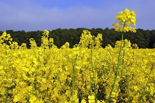 Rape field, blooming rape in front of a forest-edge : Stock Photo