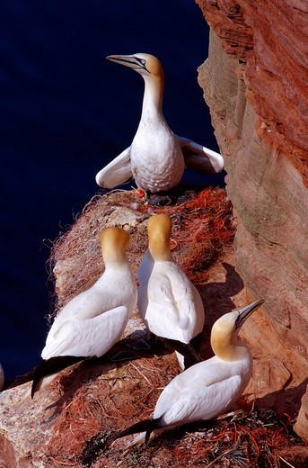 Stock Photo: 1848R-363858 Northern gannet