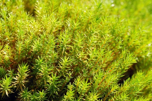 Stock Photo: 1848R-364343 Moss, Urn Haircap Pogonatum urnigerum with dew drops, Nicklheim, Bavaria, Germany, Europe