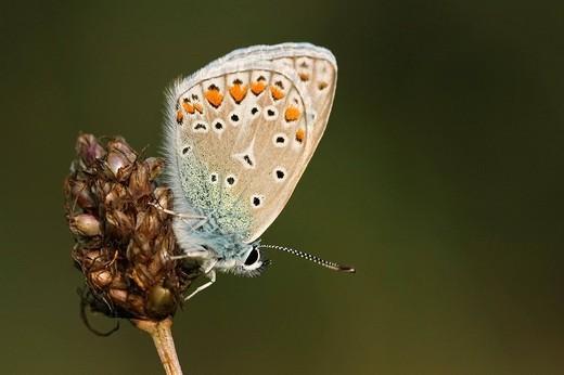 Common Blue Polyommatus icarus : Stock Photo