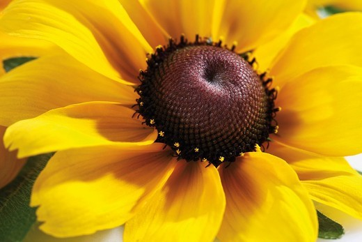 Brown Daisy or Yellow Ox_eye Daisy Rudbeckia hirta, flower, closeup : Stock Photo