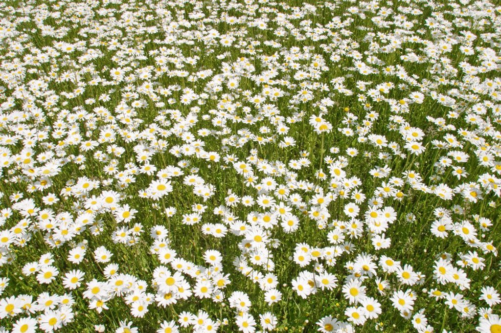 Marguerite meadow Chrysanthemum : Stock Photo