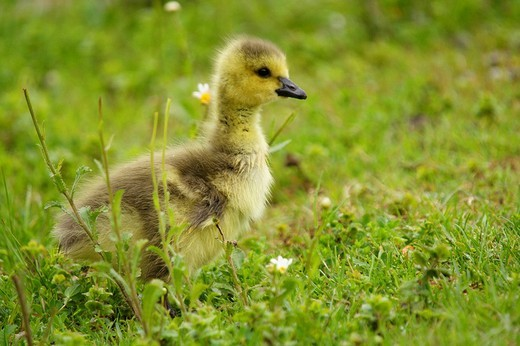 Sitting canada goose pup branta canadensis : Stock Photo