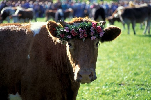 Decorated cow, Almabtrieb in Münstertal, Black Forest, Baden-Wuerttemberg, Germany, Almabtrieb = autumn farm festival, when the cows are brought home from the mountain pastures : Stock Photo