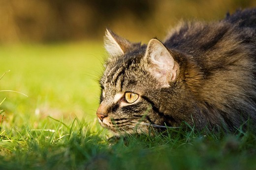 Longhair cat : Stock Photo