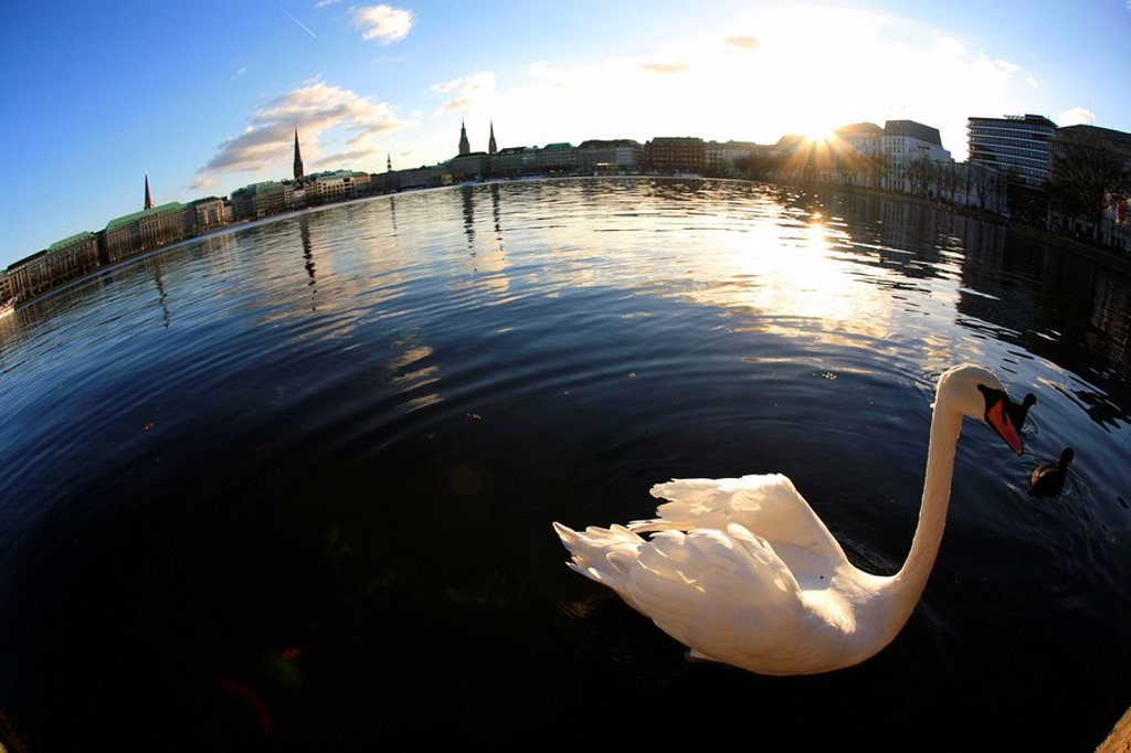 Swan on the Inner Alster, Hamburg, Germany : Stock Photo