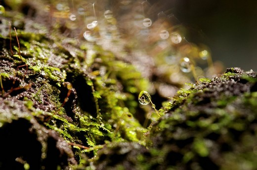 Macro of moss spores with water droplets : Stock Photo