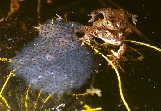 Toad migration, Common Tod Bufo bufo, European Toad pair in mating habitat with eggs of common frog Rana temporaria : Stock Photo